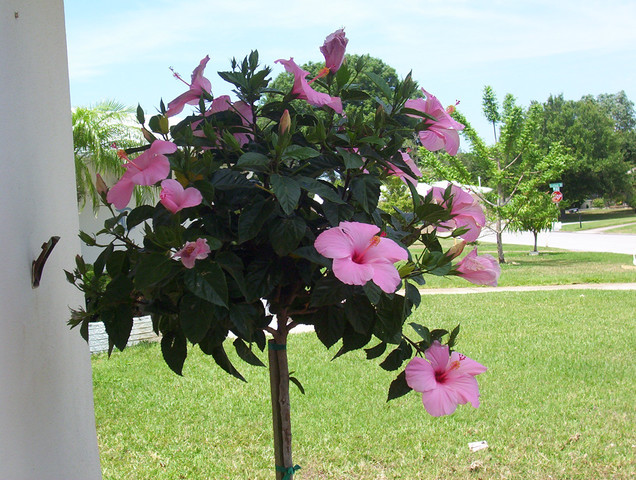 Hibiskus-Ketmia Woodbridge, Rosa of Sharon-na pniu