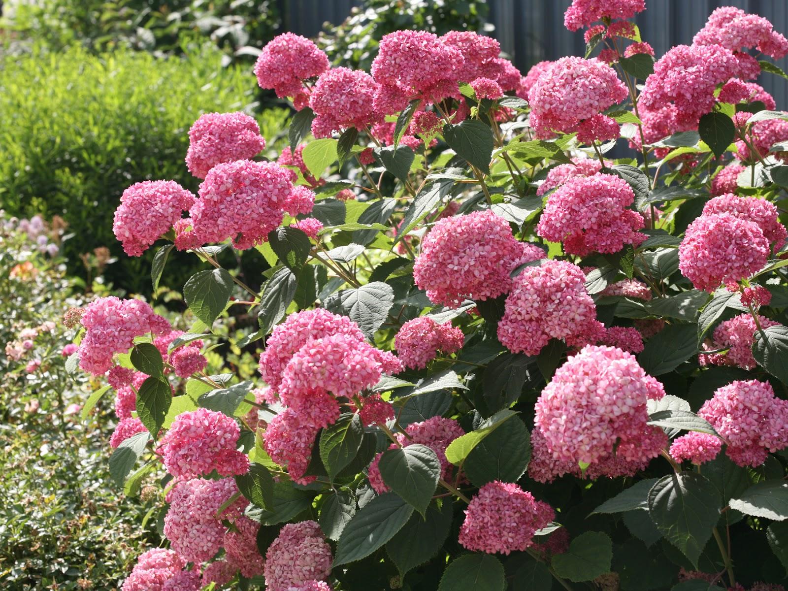 hortensja drzewiasta r owa anabelle hydrangea arborescens pink anabelle. Black Bedroom Furniture Sets. Home Design Ideas