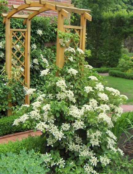 Hortensja pn ca hydrangea petiolaris - Ortensia rampicante petiolaris ...