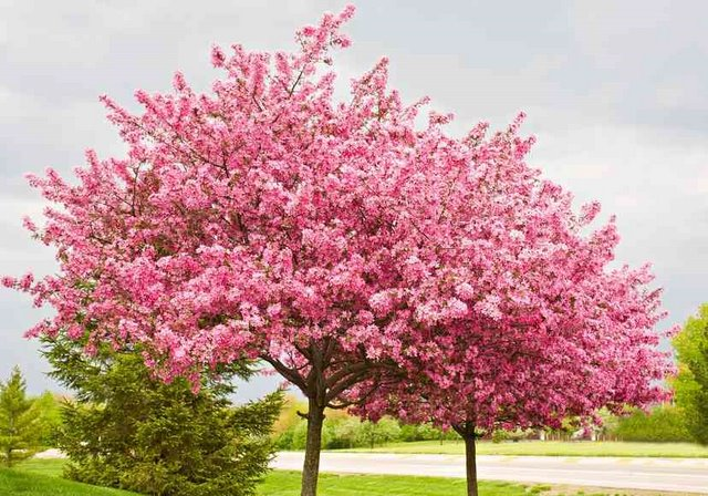 Judaszowiec chi ski avondale cercis for Great small trees for landscaping