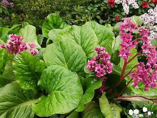 summer flowering bergenia flirt