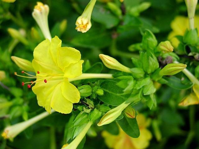 OgrodKroton.pl - Dziwaczek -Mirabilis jalapa Hendirikka Flower