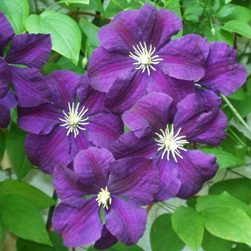 powojnik w oski etoile violette clematis vitiicella etoile violette. Black Bedroom Furniture Sets. Home Design Ideas