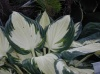 Funkia Fire and Ice- Hosta Fire and Ice