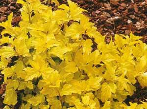 Pęcherznica żółtolistna-Physocarpus opulifolius Luteus