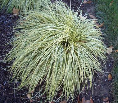Turzyca oszimska carex oshimensis evergold for Variegated ornamental grass varieties