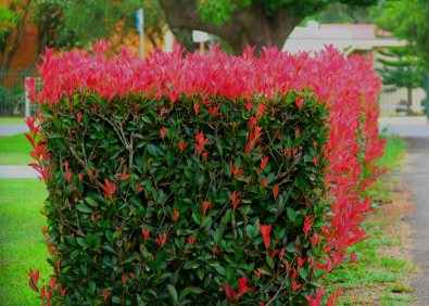 G ogownik red robin photinia fraseri red for Bacche rosse nomi