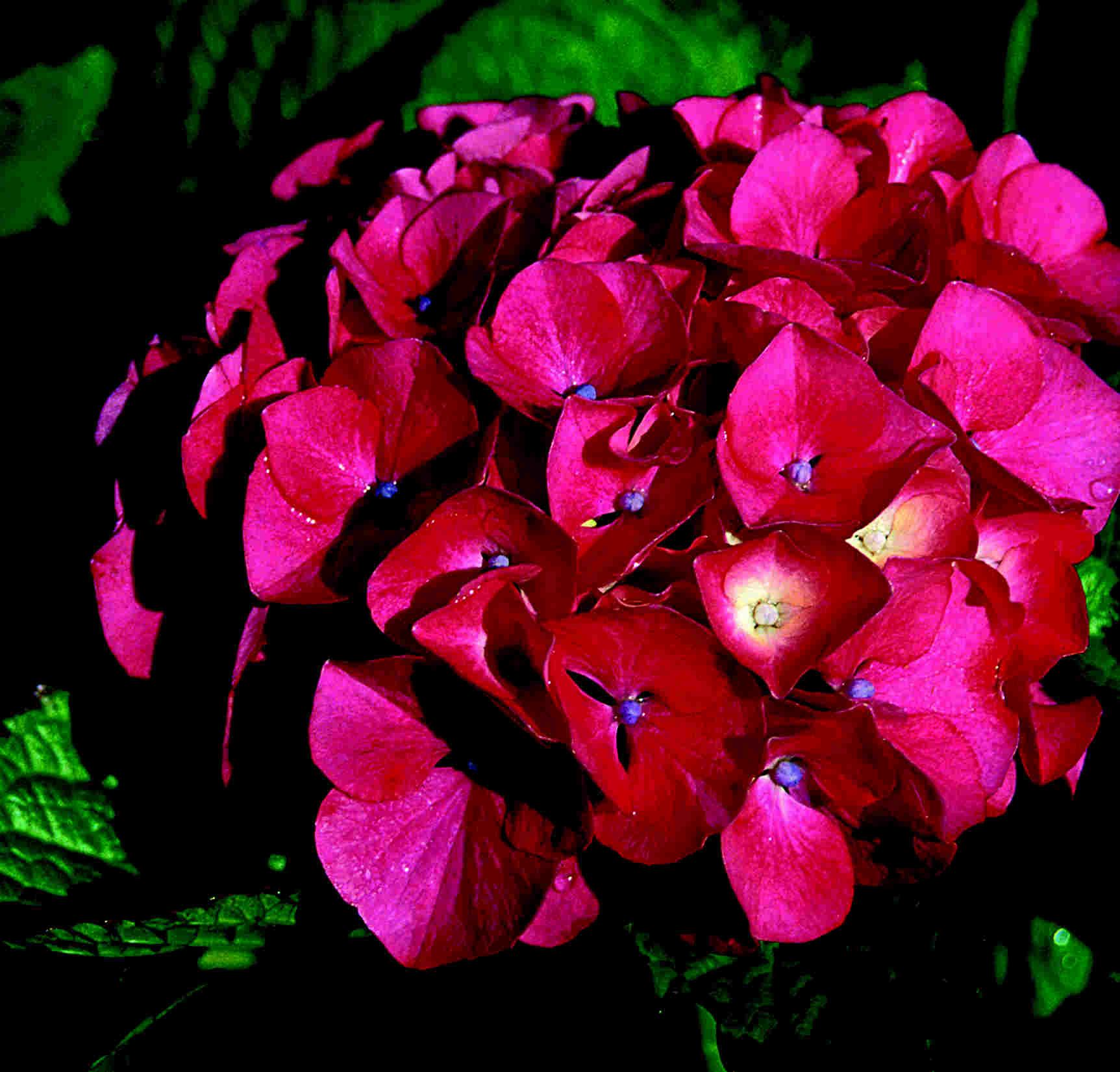 Ogrodkrotonpl Hortensja Ogrodowa Hot Red Hydrangea Macrophylla