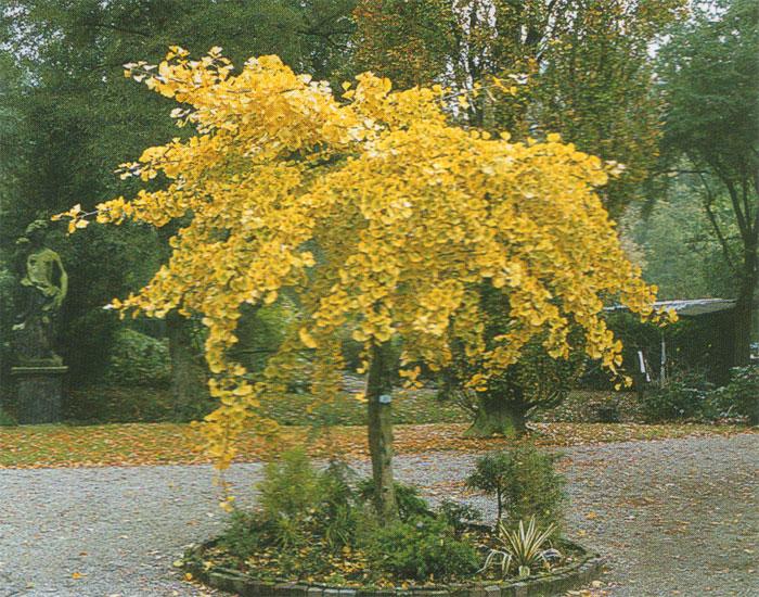 Mi orz b dwuklapowy mariken na pniu ginkgo biloba mariken - Trees for shade in small spaces concept ...