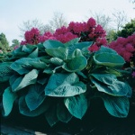 Funkia Big Daddy - Hosta Big Daddy