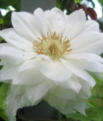 Powojnik wielkokwiatowy Duchess of Edinburgh - Clematis Duchess of Edinburgh