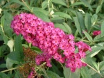 Budleja Dawida Royal Red -Buddleja davidii Royal Red