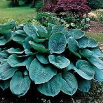 Funkia Bressingham Blue- Hosta Bressingam Blue