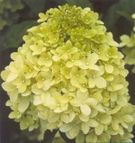 Hortensja bukietowa Lime Light-Hydrangea paniculata Lime Light