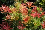 Pieris japoński  Mountain Fire - Pieris japonica Mountain Fire